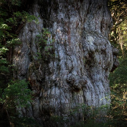 木霊の森 – 屋久島 –